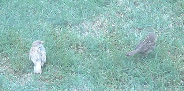 Partial Albino House Sparrow